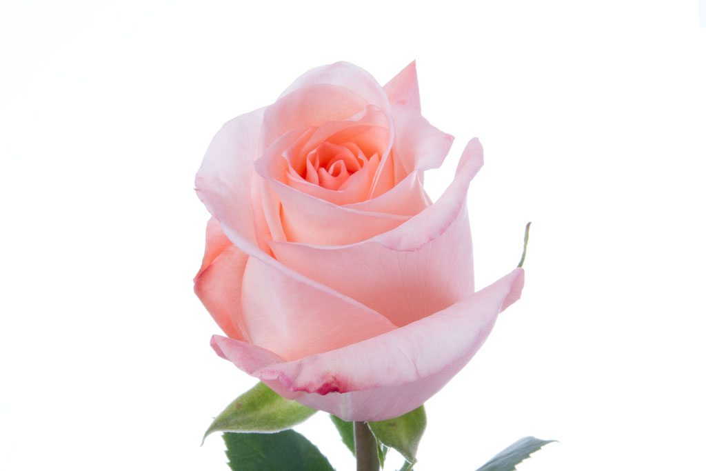 medium pink roses click flowers usa