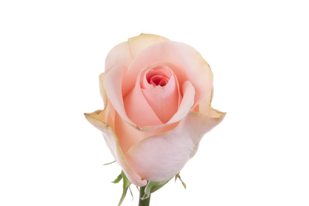 Baby pink roses click flowers usa baby pink roses mightylinksfo