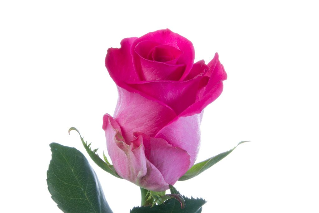 Hot pink roses click flowers usa hot pink roses mightylinksfo